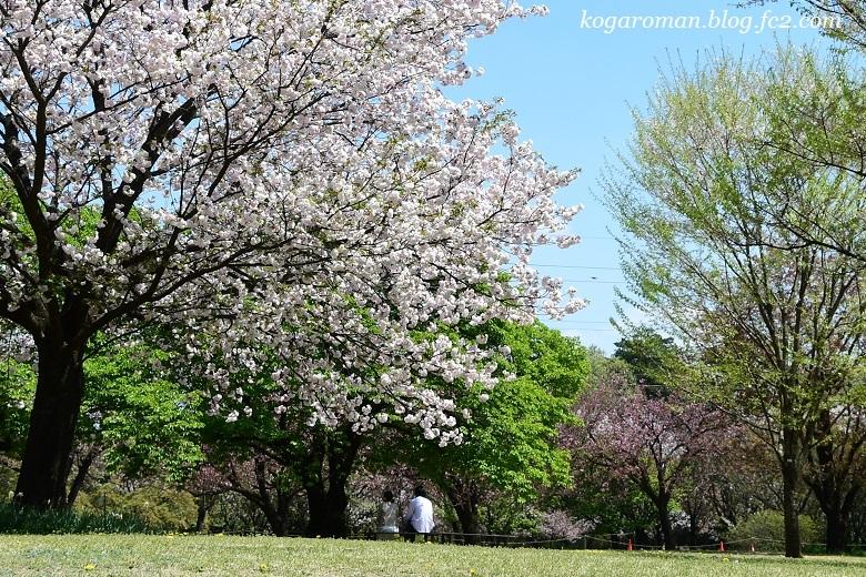 結城農場の桜6