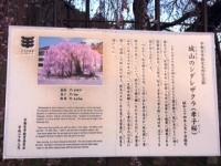 2019孝子桜 A