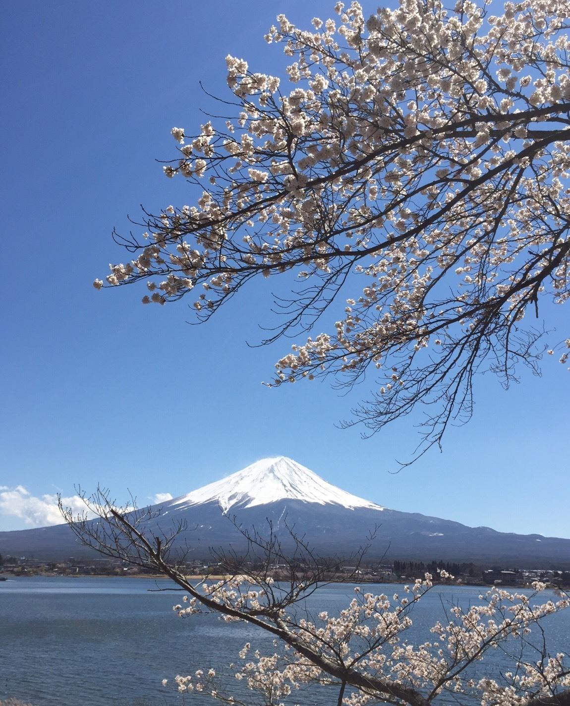 桜と富士山2019春