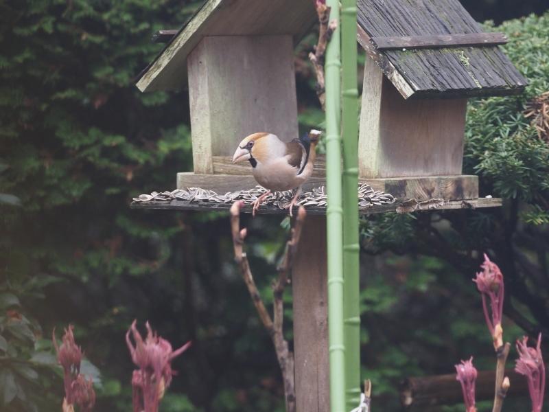 庭の小鳥31日②