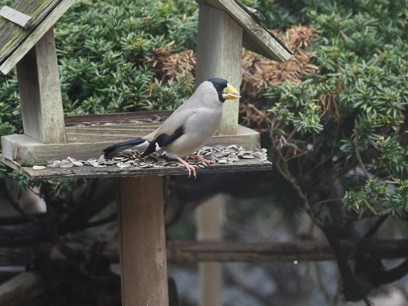 庭の小鳥31日④
