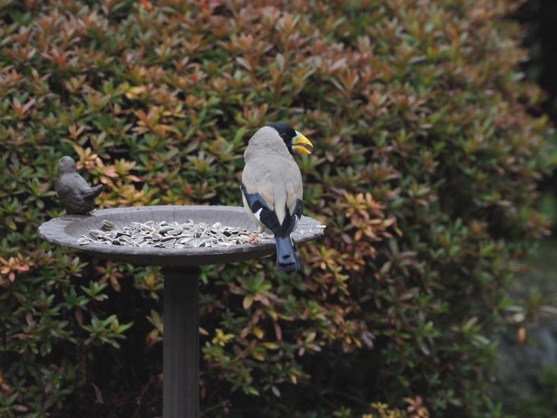 庭の小鳥31日③
