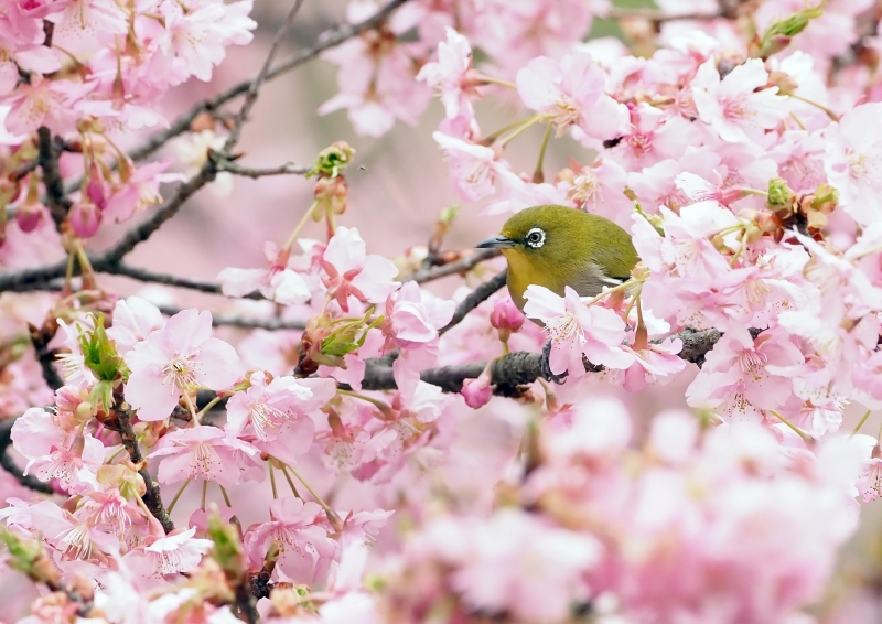 河津桜メジロ④