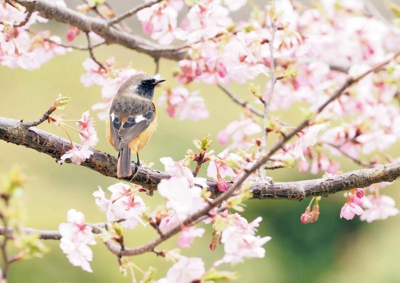 河津桜メジロ⑥