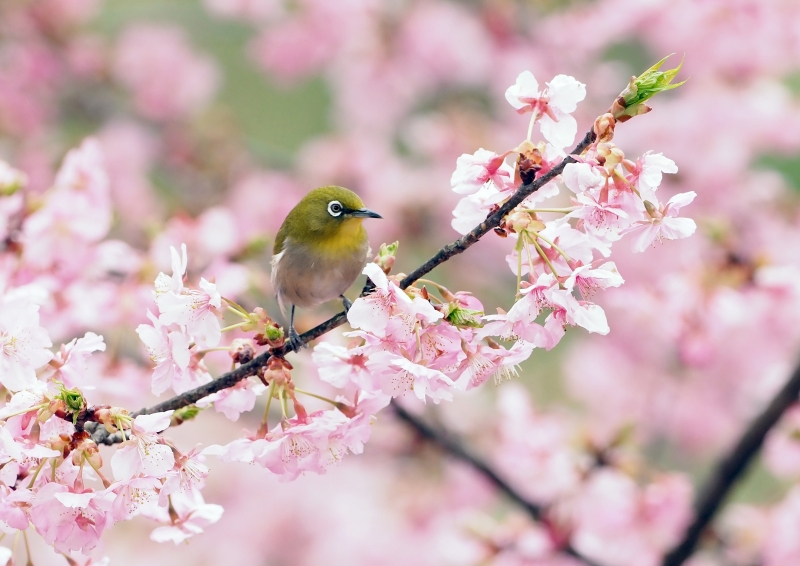 河津桜メジロ⑤