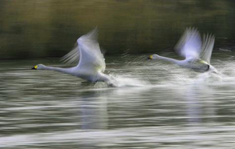 白鳥飛躍1