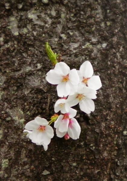 花ブ20190402-13