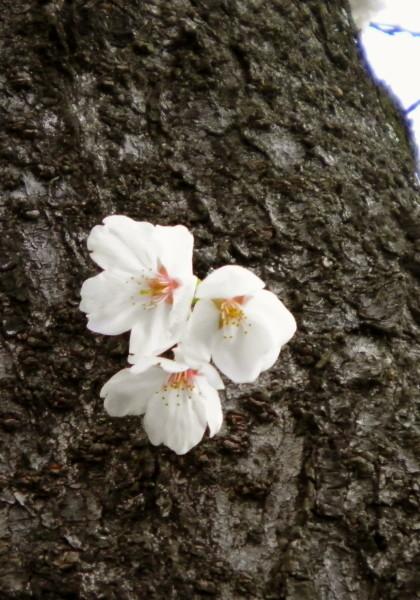 花ブ20190402-16