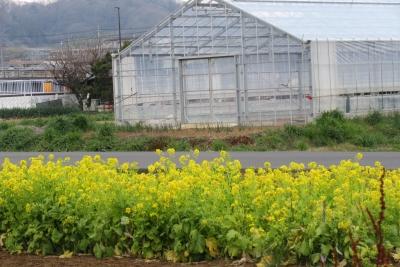 ハウスと菜の花