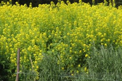 iiyamano菜の花