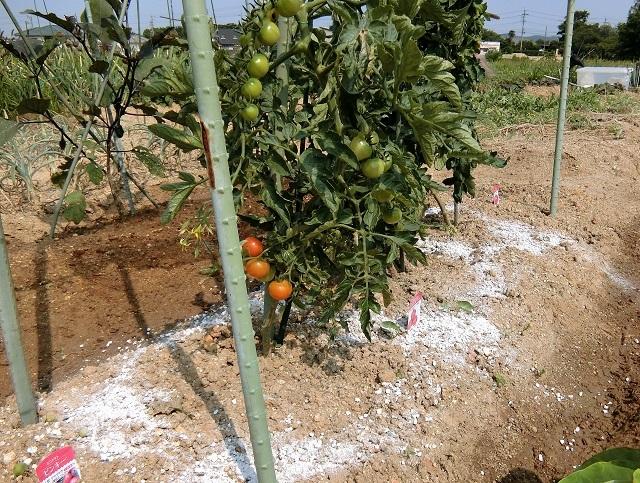 トマト追肥❶