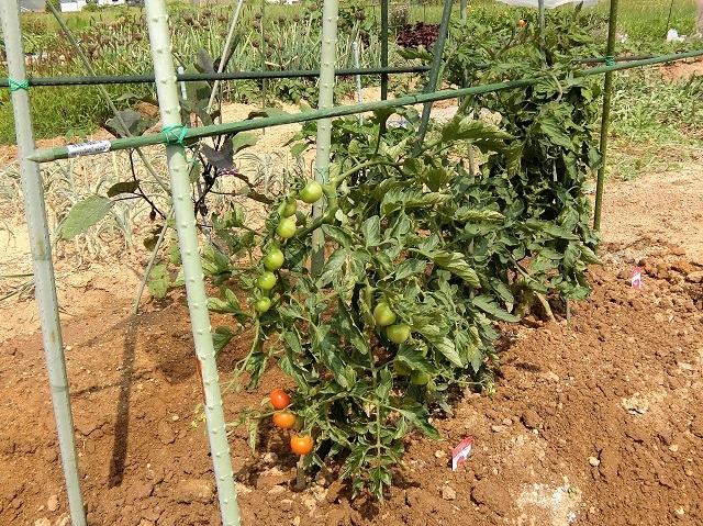 トマト追肥❷