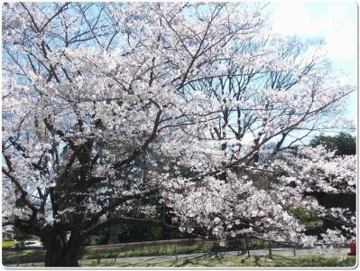 mini_13_sakura_P4030741.jpg