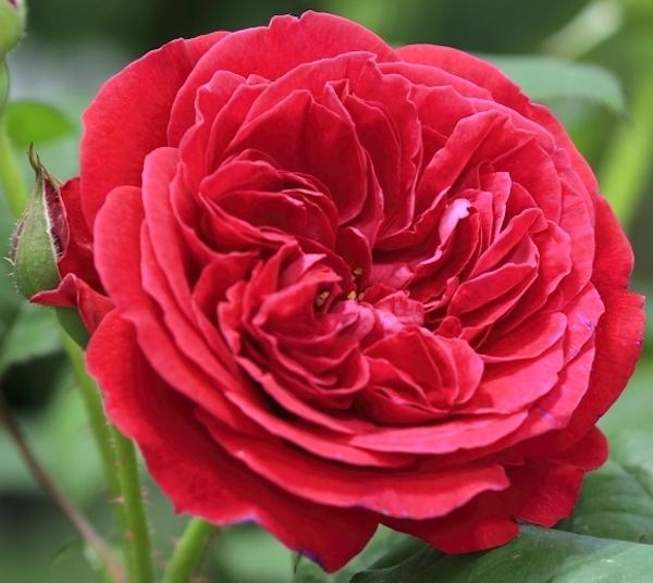 6-19薔薇