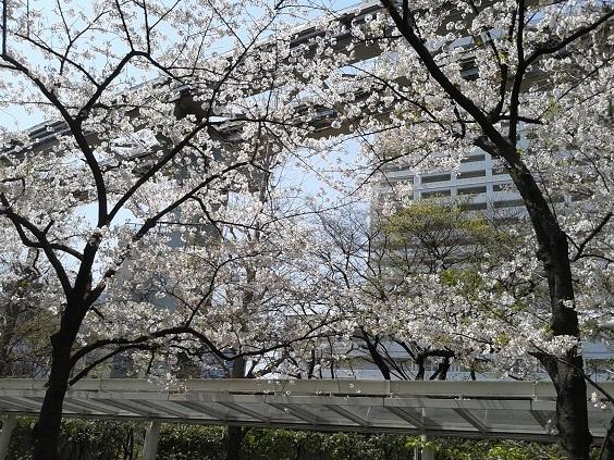 浜松町の桜