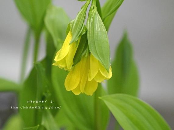 黄花ほうちゃく草