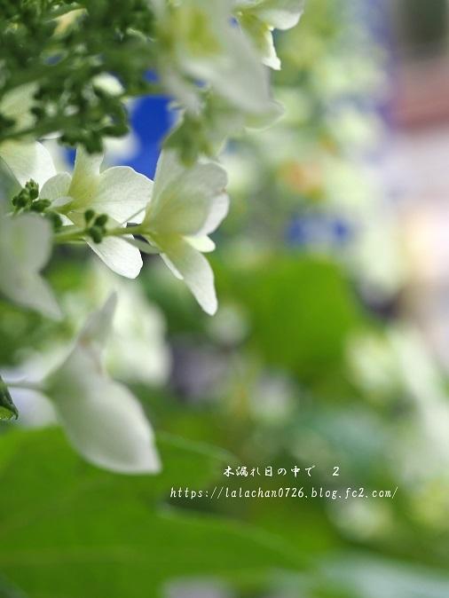 柏葉紫陽花1