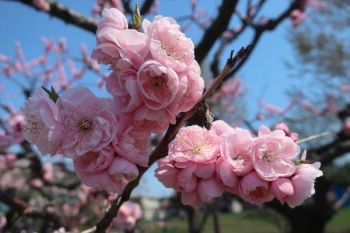 令和元年5月4日琴似発寒河川敷公園 (9)_R
