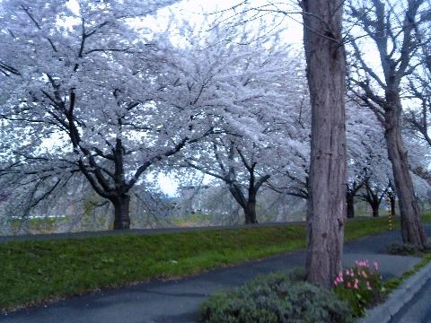 令和最初の桜