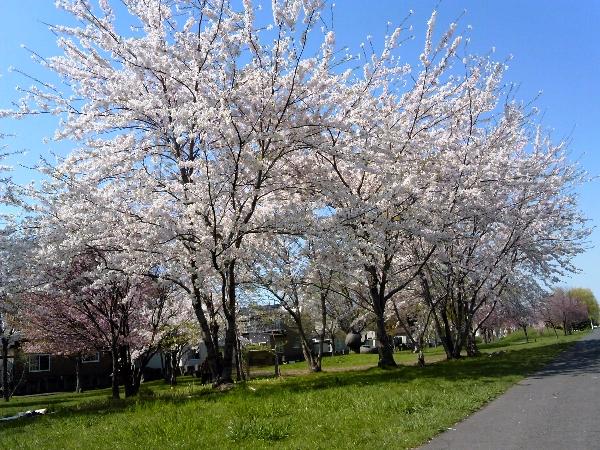 創生川緑地の桜