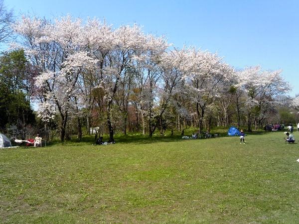 森林公園の桜