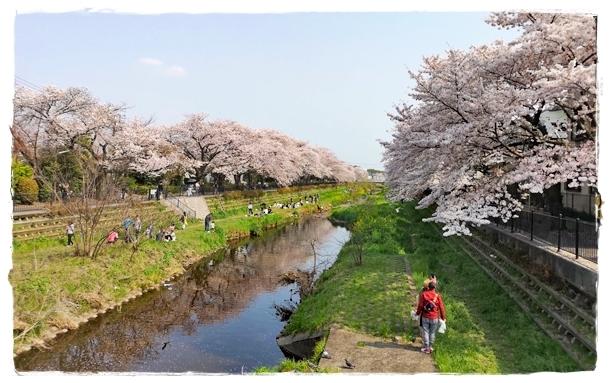 20190407野川の桜_190407_0011blos