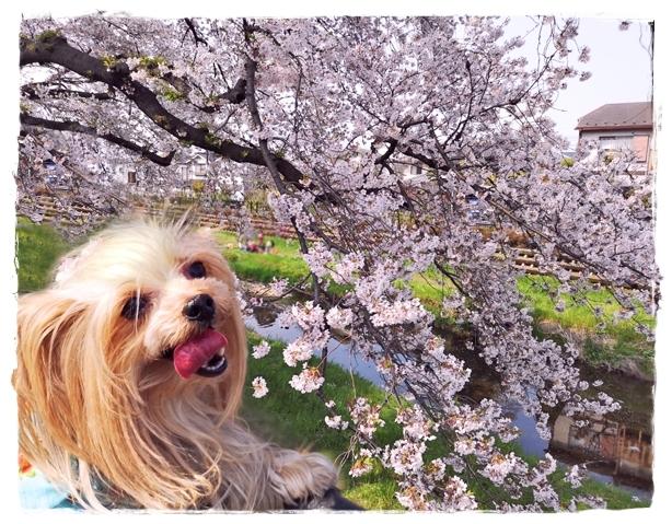 20190407野川の桜_190407_0017blos