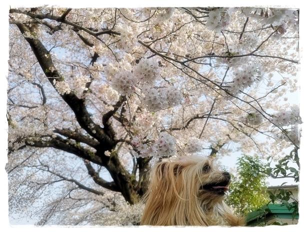 20190407野川の桜_190407_0033 - blos