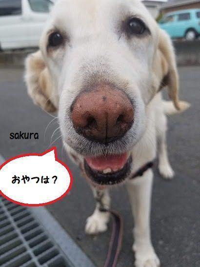 sakura_20190602142217777.jpg