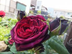 Lucy のバラ