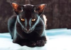 07Oriental-Shorthair-Cats-.jpg