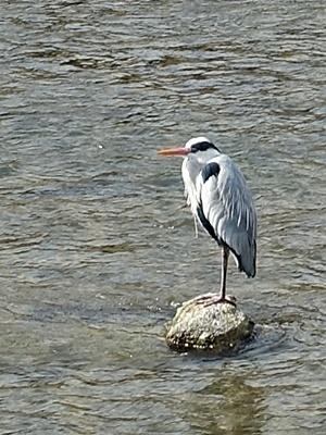鴨川の鳥アオサギ1903