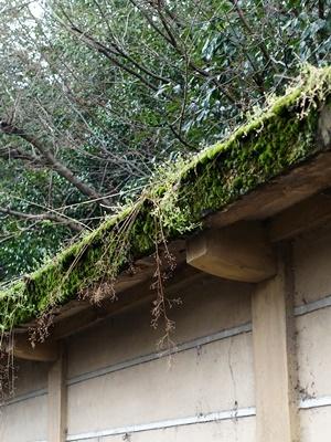 下鴨神社塀の苔1903
