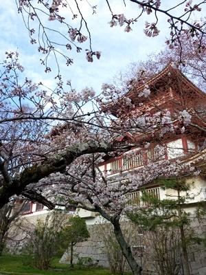 伏見桃山城の桜1904