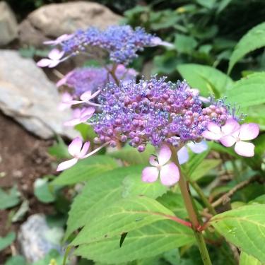 190614_紫陽花
