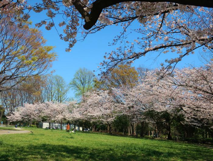 2019今年の桜とユヅ2