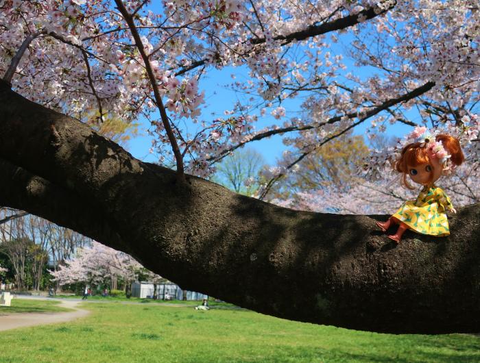 2019今年の桜とユヅ4