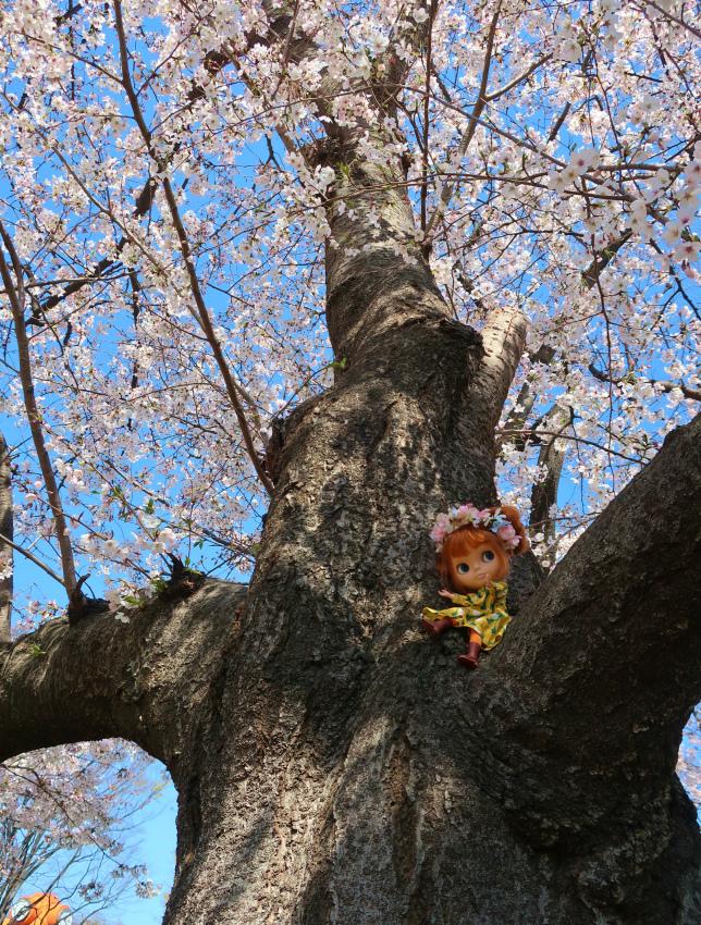 2019今年の桜とユヅ7