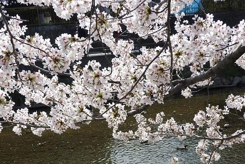 190405 桜