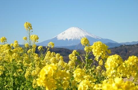 190413 菜の花 富士山