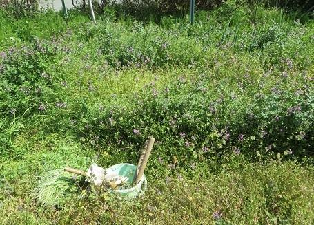 タマネギの雑草・1