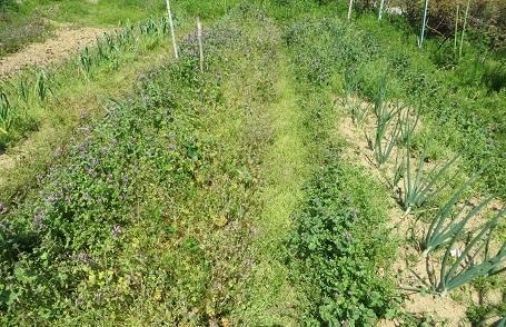 タマネギの雑草・2
