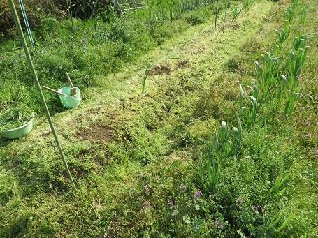 タマネギの雑草・3