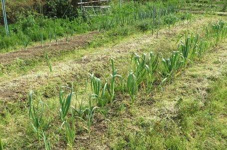 タマネギの雑草・4
