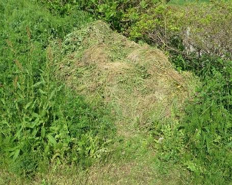 タマネギの雑草・5