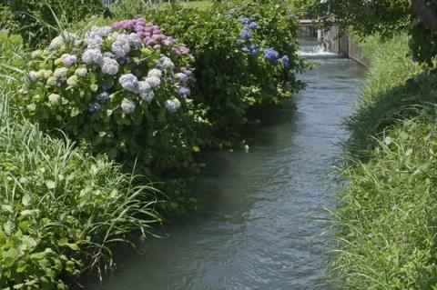 農業用水脇に咲くあじさい
