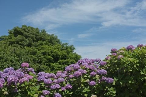 上島農村公園に咲くあじさい
