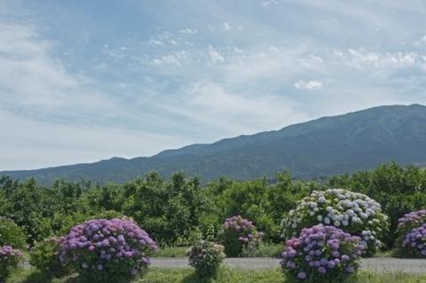 足柄山を背景にあじさいの花