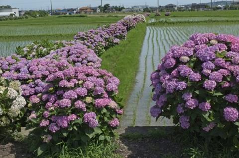 田園風景を背景にあじさいの花