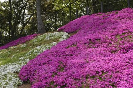 二宮吾妻山公園の芝桜